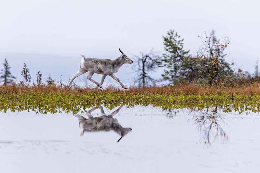 Ailo-une-odyssee-en-Laponie